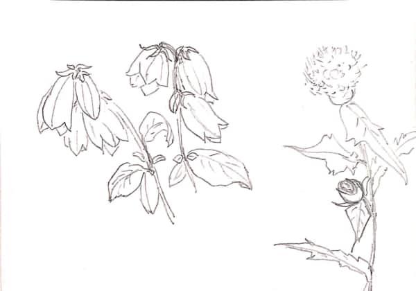 カンパニュラの花のデッサン
