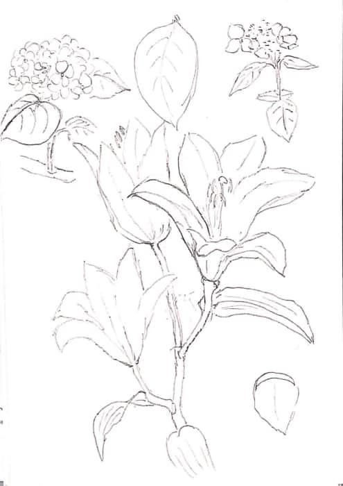 桔梗やアジサイの花のデッサン