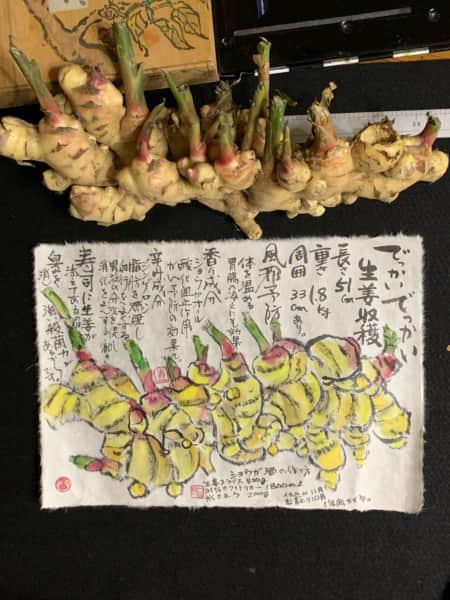 でっかい生姜収穫